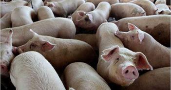 otkup-svinja